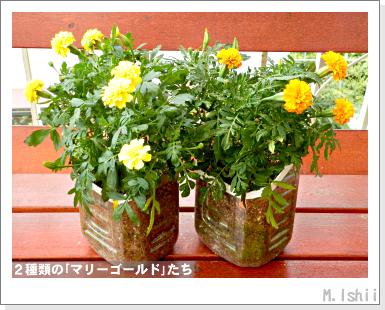 花のペット栽培II(マリーゴールド・改)31