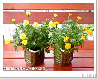 花のペット栽培II(マリーゴールド・改)34