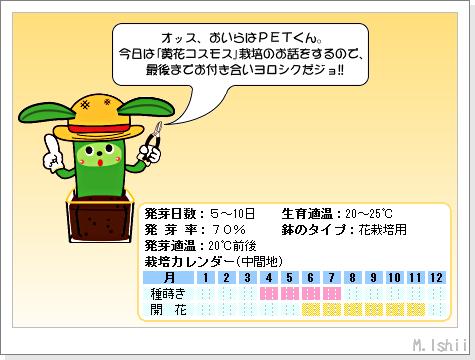 花のペット栽培II(黄花コスモス)01