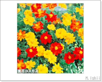 花のペット栽培II(黄花コスモス)02