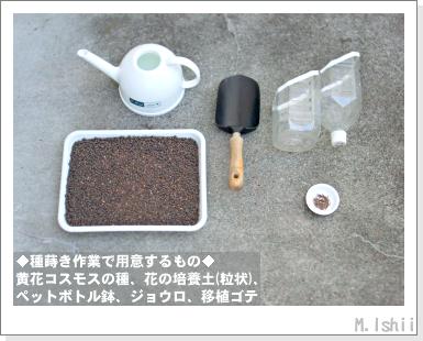 花のペット栽培II(黄花コスモス)03