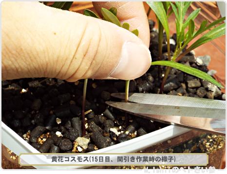 ペトさい(黄花コスモス)12