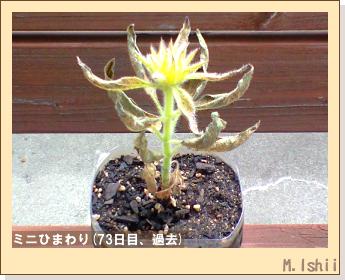 花のペット栽培(ミニひまわり)02