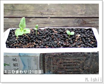 花のペット栽培(ミニひまわり)07