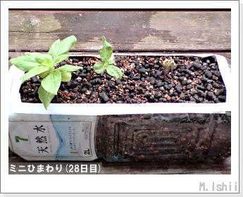 花のペット栽培(ミニひまわり)08