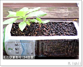 花のペット栽培(ミニひまわり)09