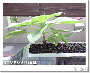 花のペット栽培(ミニひまわり)10