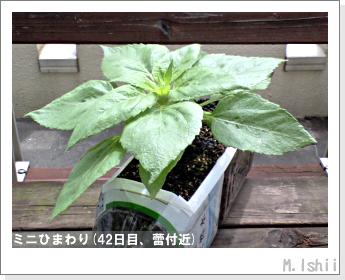 花のペット栽培(ミニひまわり)11