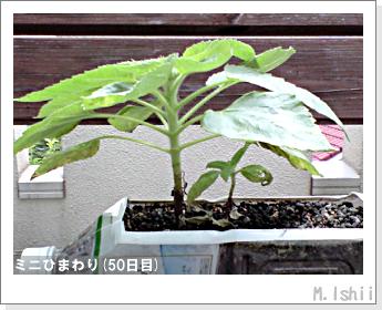 花のペット栽培(ミニひまわり)12