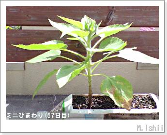 花のペット栽培(ミニひまわり)14