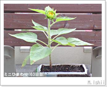 花のペット栽培(ミニひまわり)16