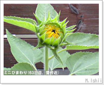 花のペット栽培(ミニひまわり)17