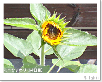 花のペット栽培(ミニひまわり)18