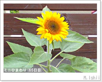 花のペット栽培(ミニひまわり)19