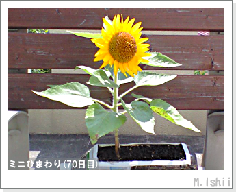 花のペット栽培(ミニひまわり)21