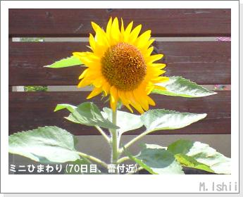 花のペット栽培(ミニひまわり)22