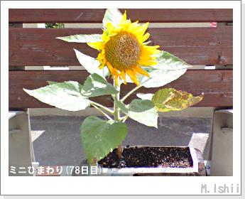 花のペット栽培(ミニひまわり)23