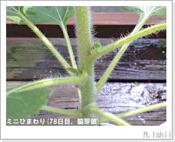 花のペット栽培(ミニひまわり)24
