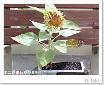 花のペット栽培(ミニひまわり)25