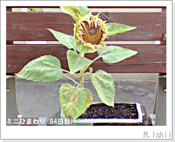花のペット栽培(ミニひまわり)26