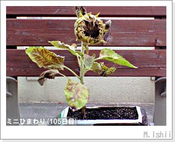 花のペット栽培(ミニひまわり)27