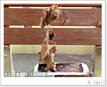 花のペット栽培(ミニひまわり)28