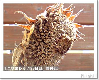花のペット栽培(ミニひまわり)29