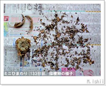 花のペット栽培(ミニひまわり)30