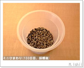 花のペット栽培(ミニひまわり)31