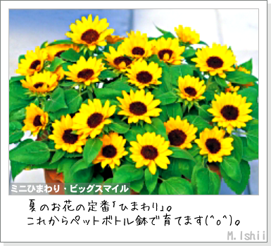 花のペット栽培II(ミニひまわり)01