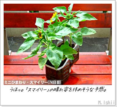 花のペット栽培II(ミニひまわり)16