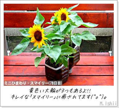 花のペット栽培II(ミニひまわり)19