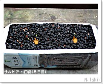 花のペット栽培(サルビア・紅姿)03