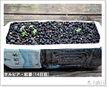 花のペット栽培(サルビア・紅姿)05