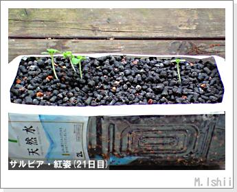 花のペット栽培(サルビア・紅姿)06