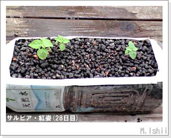 花のペット栽培(サルビア・紅姿)07