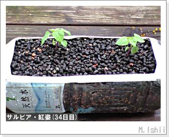 花のペット栽培(サルビア・紅姿)08