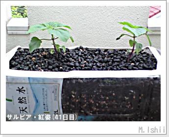 花のペット栽培(サルビア・紅姿)09
