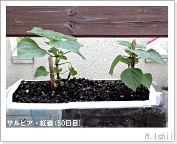 花のペット栽培(サルビア・紅姿)10