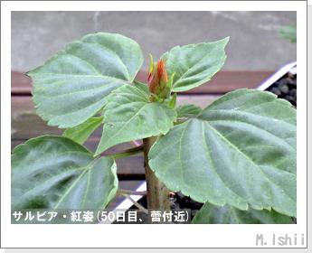 花のペット栽培(サルビア・紅姿)11