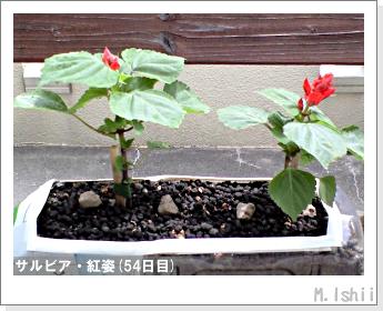 花のペット栽培(サルビア・紅姿)12