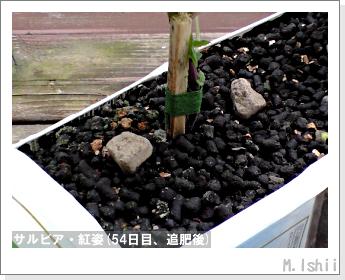 花のペット栽培(サルビア・紅姿)13