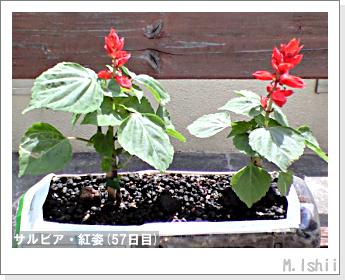 花のペット栽培(サルビア・紅姿)14
