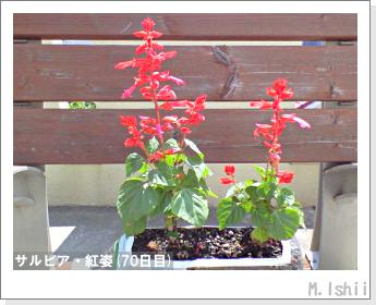 花のペット栽培(サルビア・紅姿)16