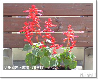 花のペット栽培(サルビア・紅姿)17