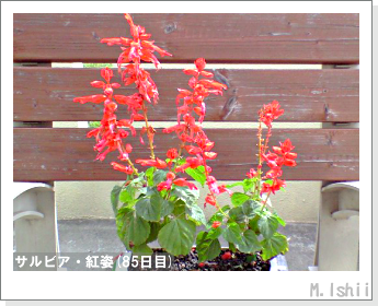 花のペット栽培(サルビア・紅姿)18