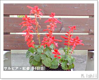 花のペット栽培(サルビア・紅姿)19