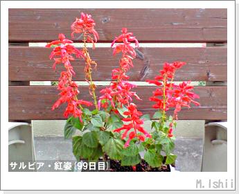 花のペット栽培(サルビア・紅姿)20