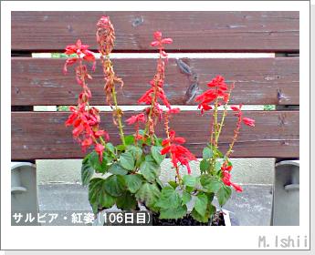 花のペット栽培(サルビア・紅姿)21