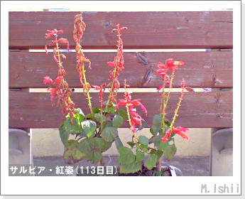 花のペット栽培(サルビア・紅姿)22